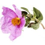 Huile Végétale de Rose Musquée, Rosa Rubiginosa, cicatrisante et regenerante
