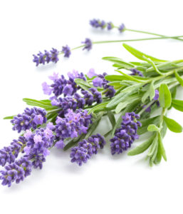 Lavande officinale : soin naturel